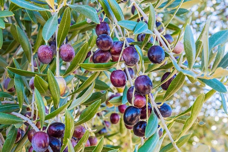 olive-arbre-1