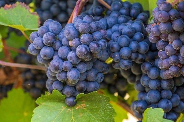 raisins-viticulture
